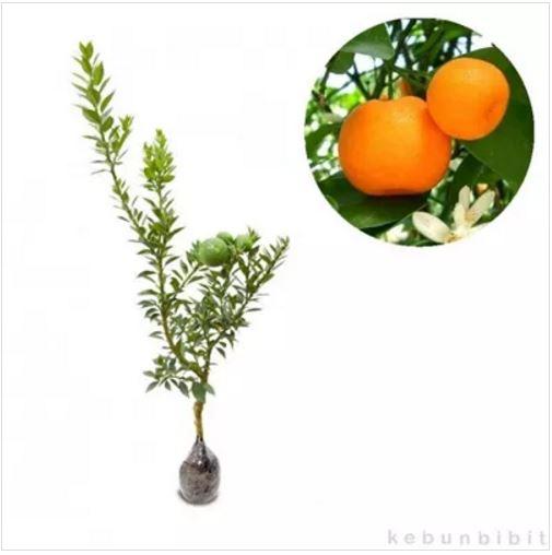 Jeruk lemon lokal merupakan tanaman buah dengan buah berwarna kuning dengan rasa masam. Lemon juga dapat menjaga kesehatan gigi, melancarkan pencernaan, ...